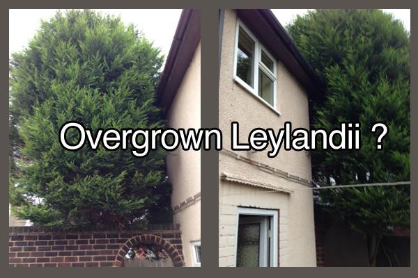 Leylandii Trees Pruned or removed