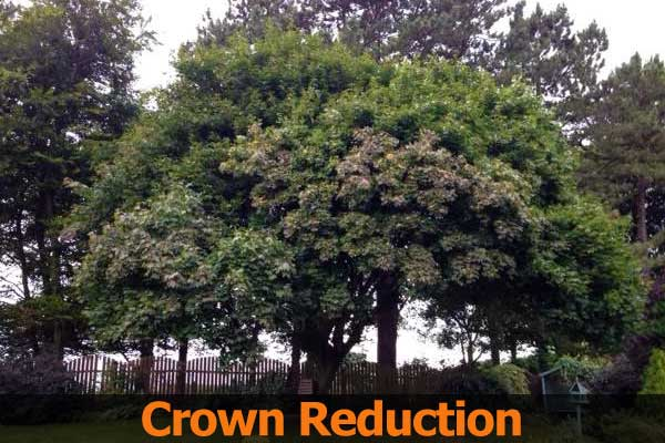 Sycamore Crown Reduction - tree pruning advice