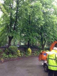 Pollarding Lime Trees in Broomhall