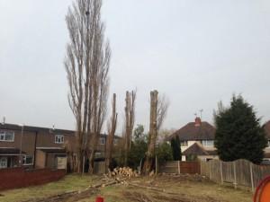 Cutting Overgrown Poplar Trees