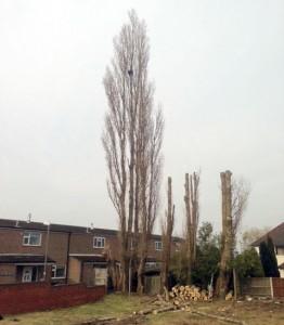 Overgrown Poplar Trees