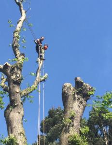 Sweet Chestnut Tree dismantled