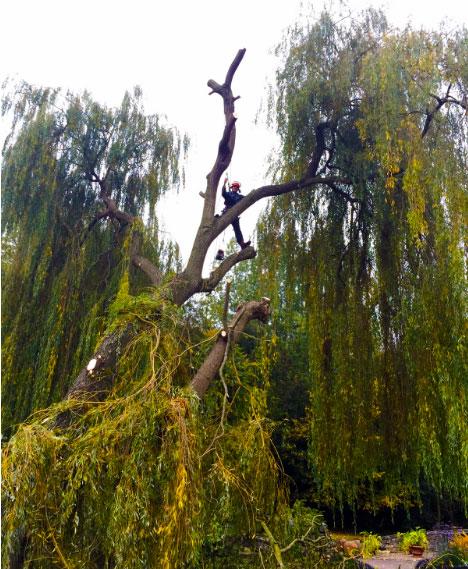 Pollarding a Willow Tree