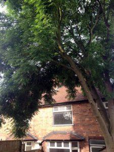 Ash Tree Blocking Light From Garden