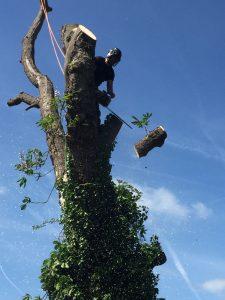 horse chestnut tree felled