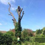 cutting down a horse chestnut tree