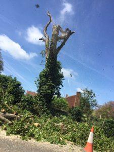 horse chestnut tree cut down