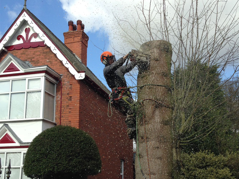 spruce tree cut down - worksop