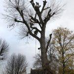 re-pollarding a poplar tree